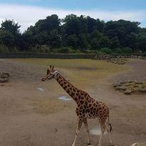 giraffe at dublin zoo